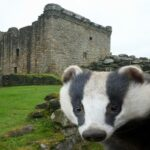 'Very angry badger' invades Scotland's 16th-century Craignethan Castle