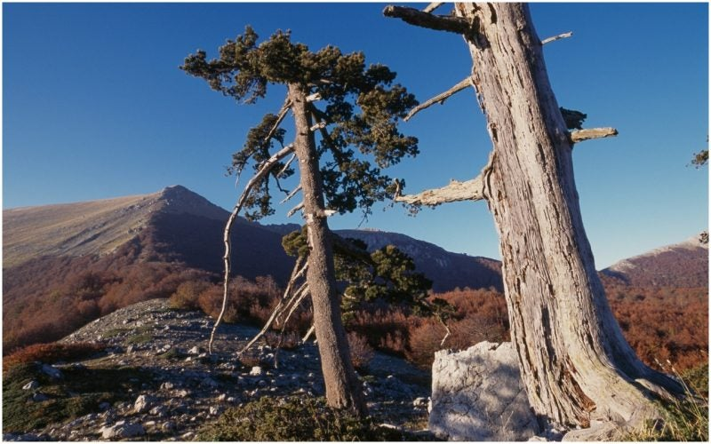 Meet Italus, a 1,230-year-old pine tree from Italy who just became the oldest scientifically-dated tree in Europe.