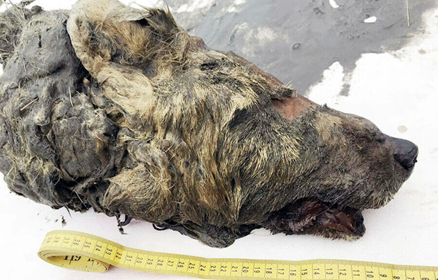 The severed head of large wolf found perfectly preserved in Siberian permafrost 40,000 years after it died