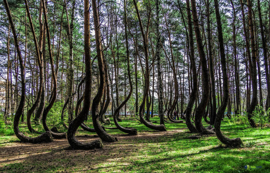 The mysterious Crooked Forest in Poland