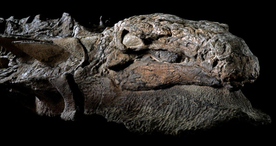 Canada Unveils 'Dinosaur Mummy' Found With Skin And Gut Contents Intact