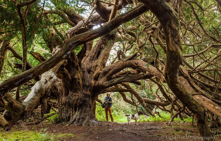 Meet The Ancient Mysterious Trees Older Than The Pyramids